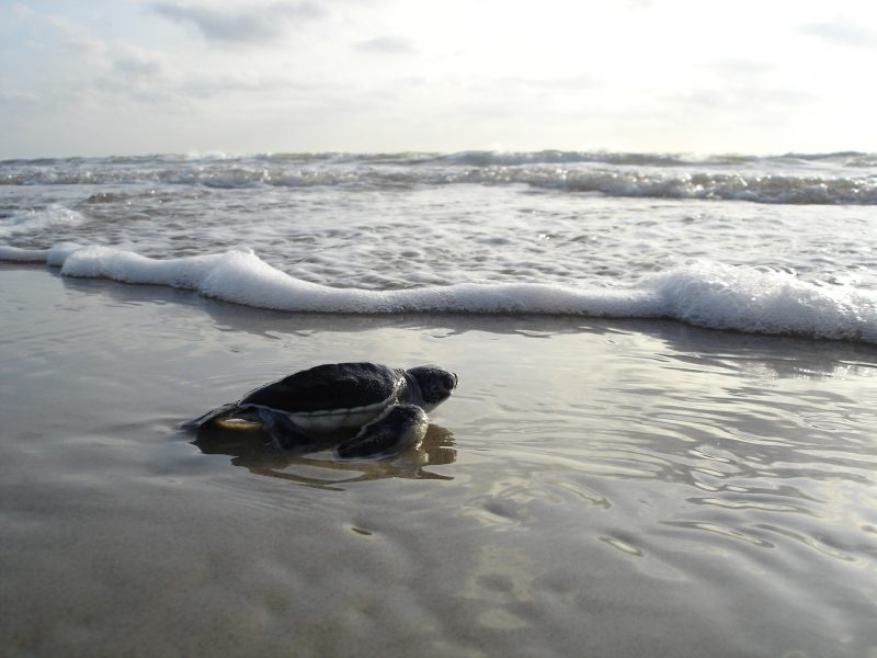 Turtle in the surf on Amelia Island